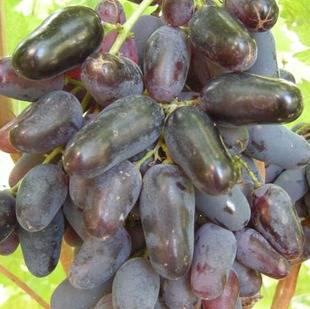 Идеальный выбор для молодых садоводов - виноград памяти негруля