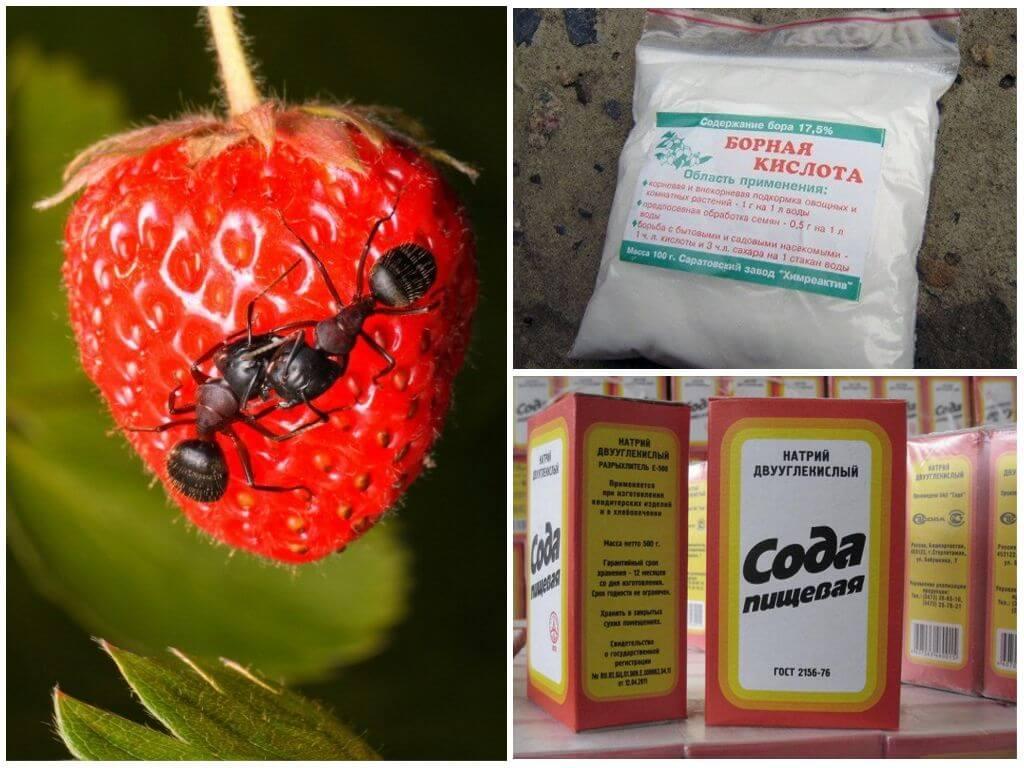 Как избавиться от муравьев в саду раз и навсегда