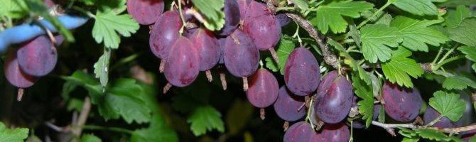 Весенний уход за крыжовником – залог здоровых ягод