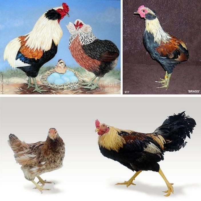 Араукана порода кур: описание породы, выращивание и уход - подробная информация!