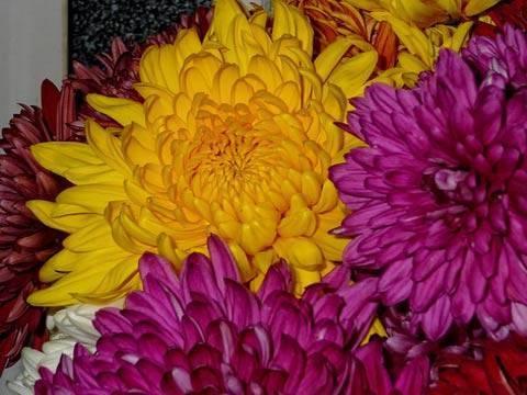 Болезни хризантем: лечение трипса и тли. почему скручиваются и желтеют листья? как избавиться от белой ржавчины на домашней хризантеме?