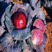 Как вырастить краснокочанную капусту на огороде в открытом грунте. капуста краснокочанная — выращивание и уход в открытом грунте