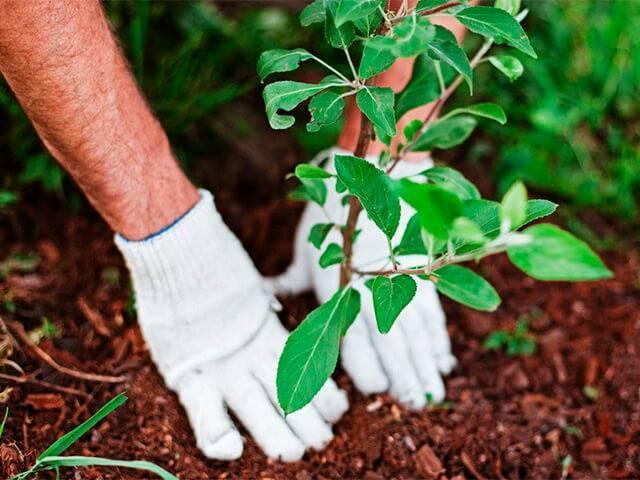 Нужны ли саженцам плодовых деревьев посадочные ямы?