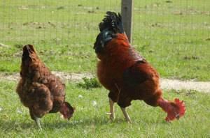 Голошейная порода кур — особенности и продуктивность