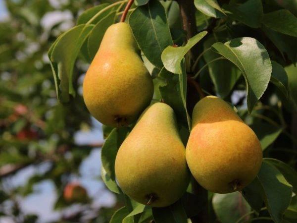 Груша скороспелка из мичуринска: описание сорта, характеристики, опылители и фото плодов
