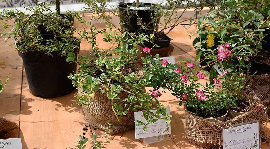 4 чудодейственных рецепта, чем подкормить розы в августе.   красивый дом и сад