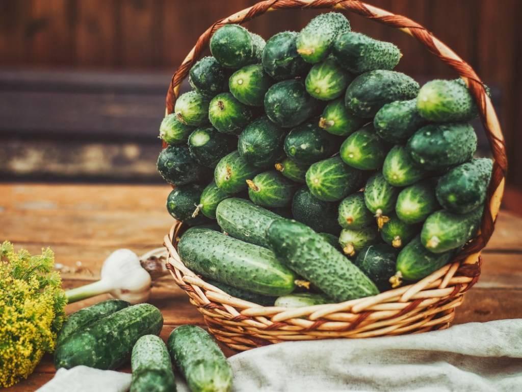 Как повысить урожайность огурцов