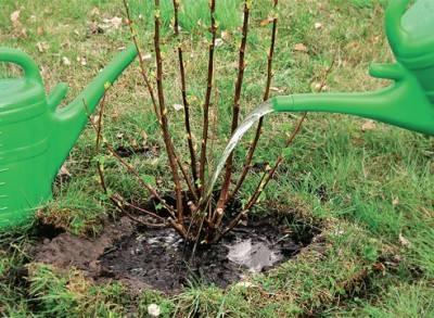 Как ухаживать за смородиной весной: подготовка, правильное выращивание