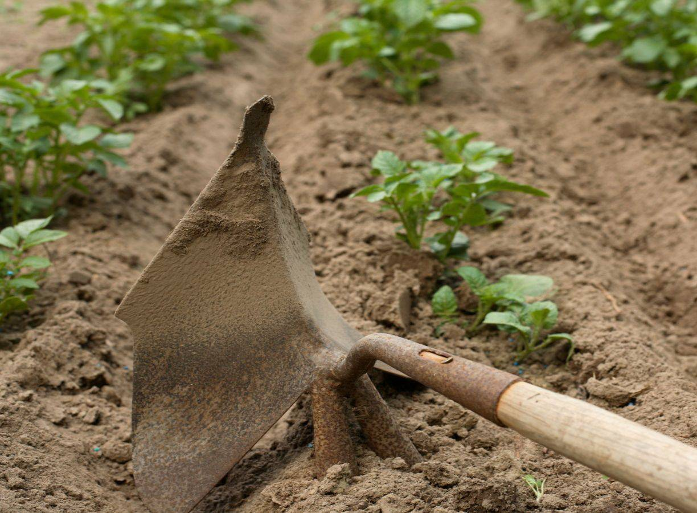 Окучивание картофеля - как правильно это делать?