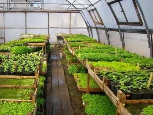 Как посеять капусту для рассадки в теплице: правильная посадка и уход