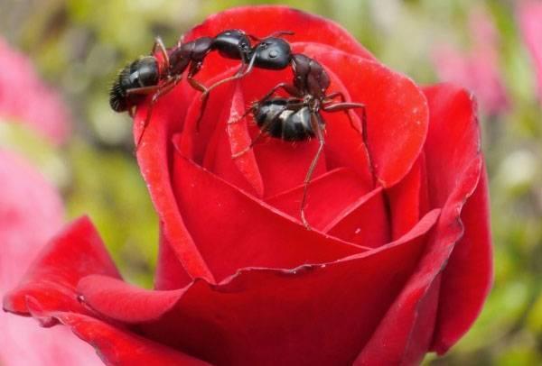 Тля на розах: что делать, чтобы избавиться от вредителя, какими химпрепаратами обработать, чем из народных средств можно опрыскать и как еще бороться с насекомым?