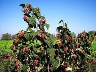 Малина маравилла: характеристика, схема посадки, особенности выращивания