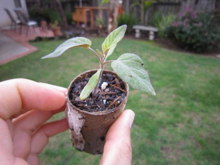 Как из косточки персика вырастить плодоносящее дерево в домашних условиях?
