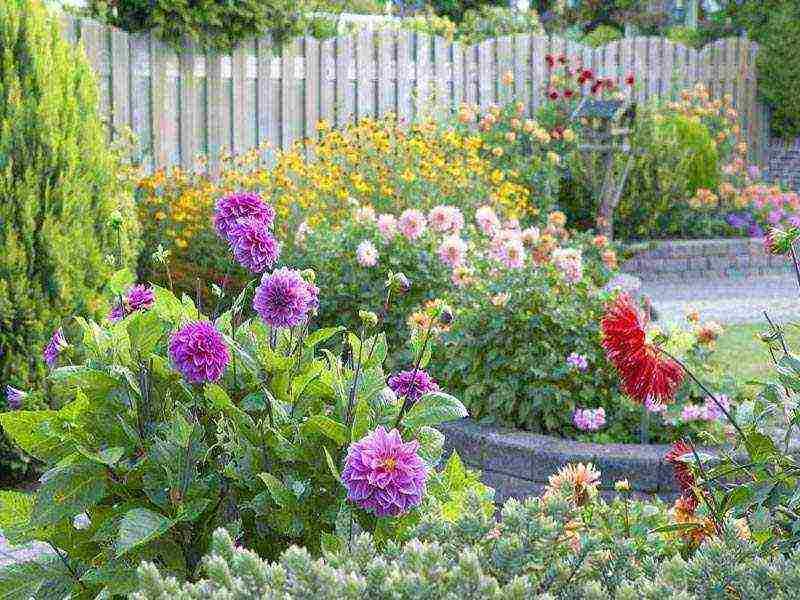 Георгины многолетние: посадка и уход в открытом грунте, особенности цветов