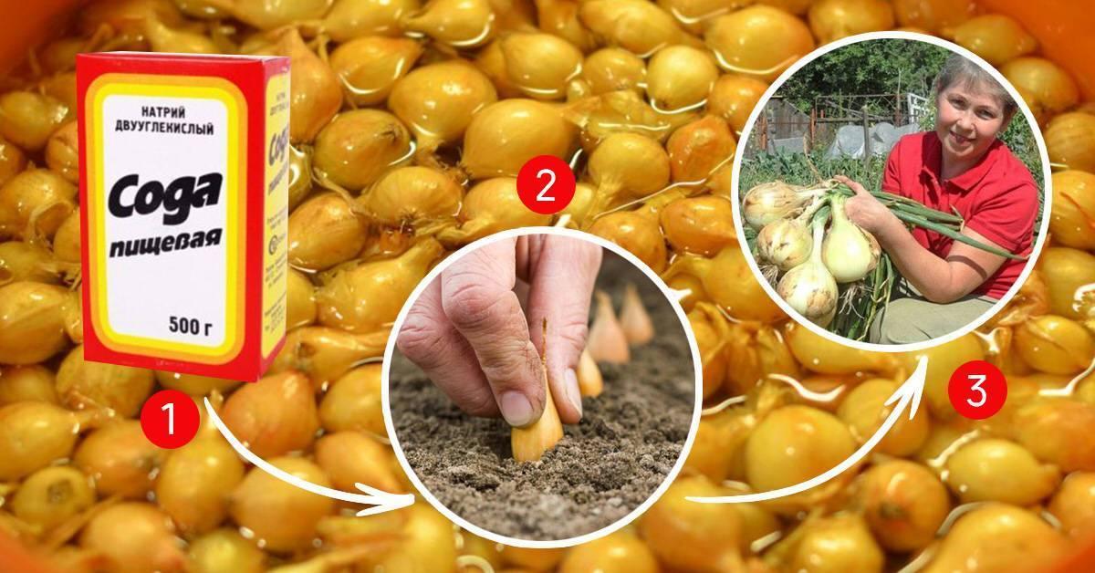 Как правильно замачивают лук севок перед посадкой