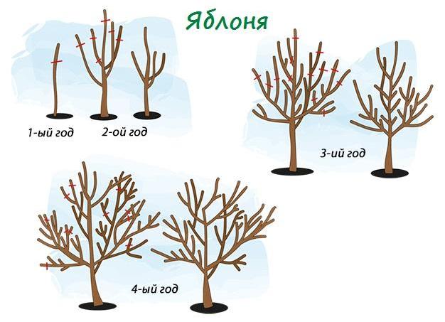 Как обрезать яблоню весной, формирование саженца, омоложение старого дерева