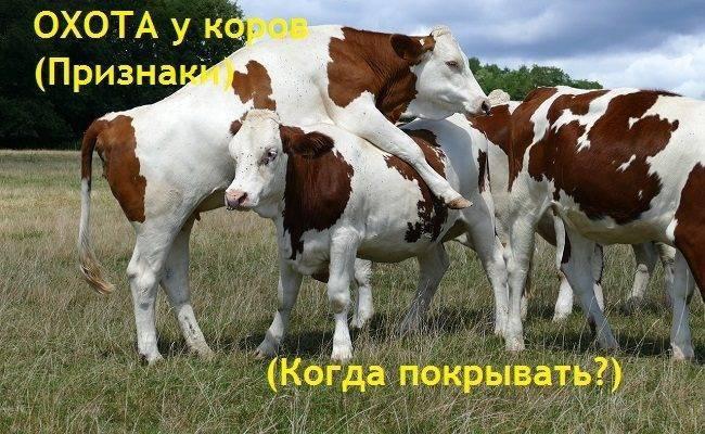 Определение и протекание стельности коровы по месяцам