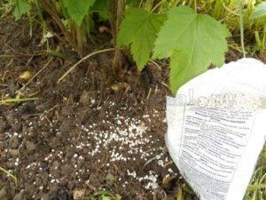 Подкормка смородины – схема внесения удобрений, правила ухода