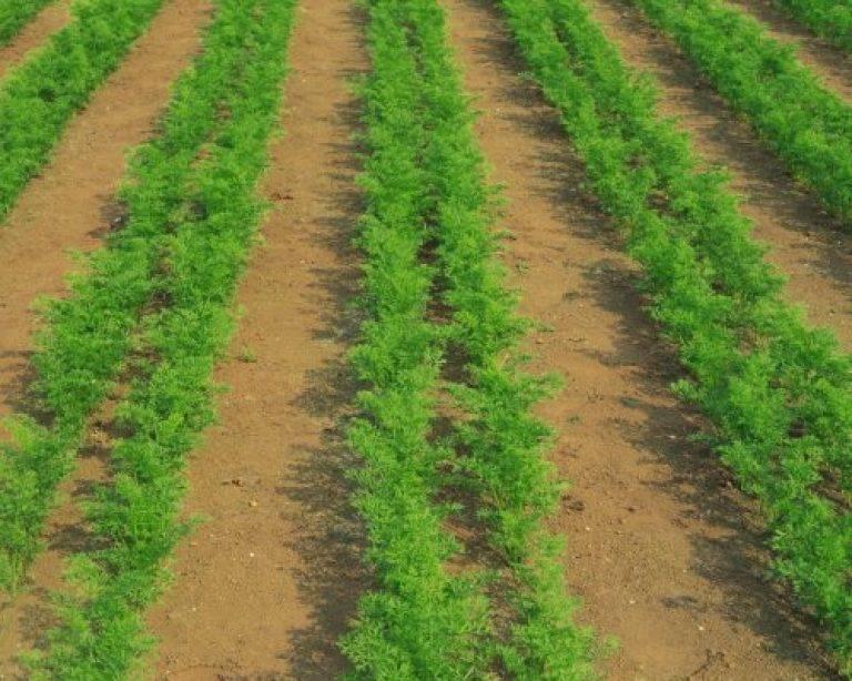 Быстрые всходы моркови: как ускорить прорастание семян