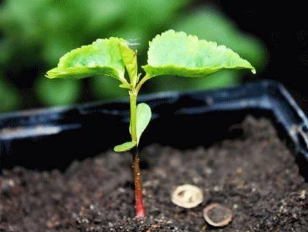 Как правильно посадить вишню осенью?