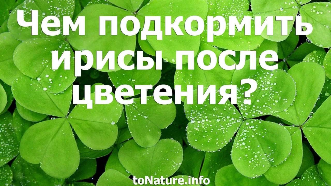 Цветение ирисов: почему они не цветут и что с этим делать? уход после цветения.что дальше делать с листьями и стеблями после того, как отцвели ирисы?