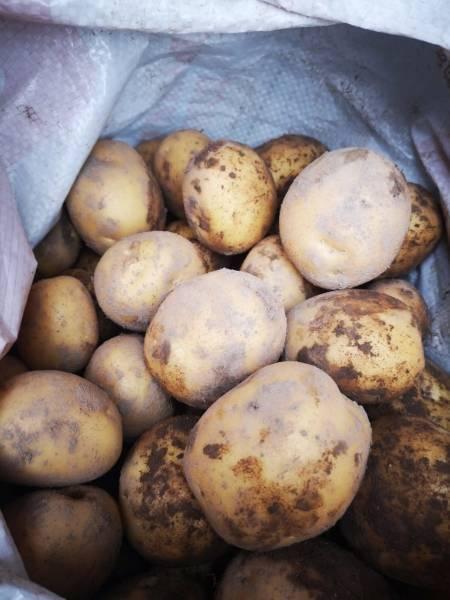 Картофель сорта коломбо: описание и правила выращивания