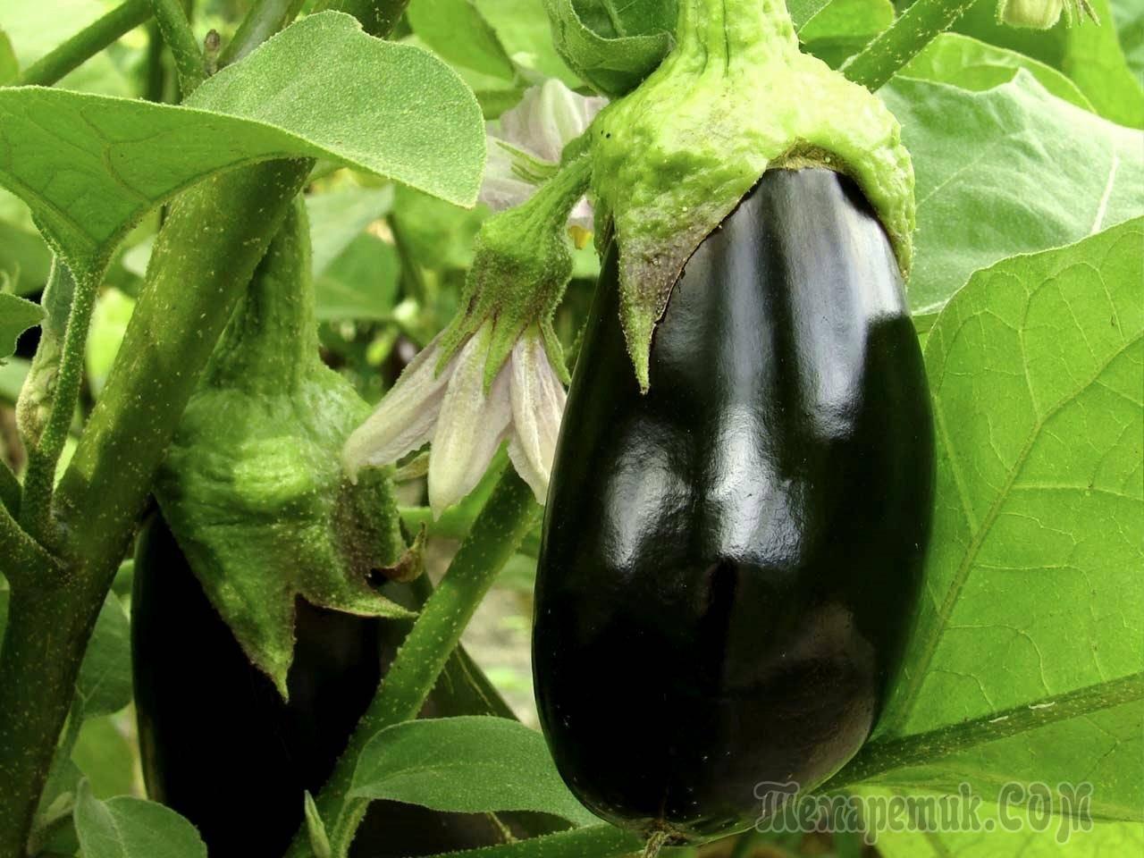 20 методов чем удобрить баклажаны в теплице