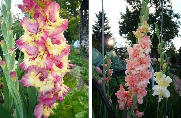Условия и способы выращивания гладиолусов в домашних условиях. посадка и уход за цветами в открытом грунте