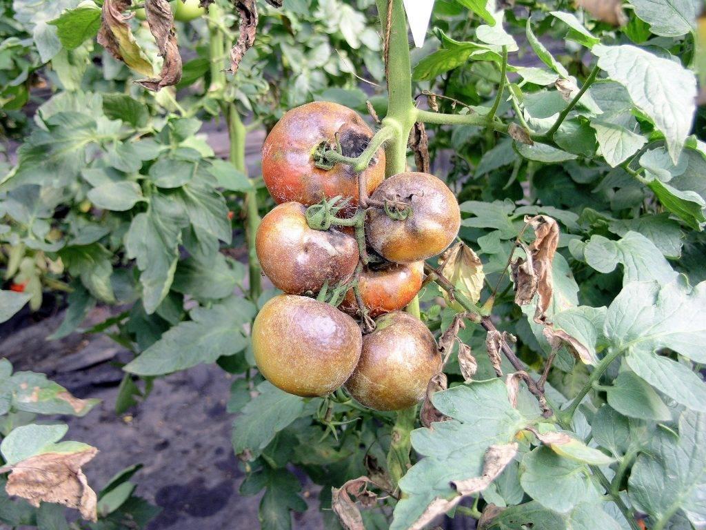 Как бороться с фитофторой на помидорах? профилактика. народные средства. препараты от фитофторы