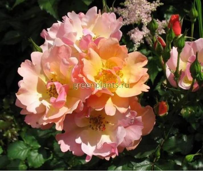 Роза jazz