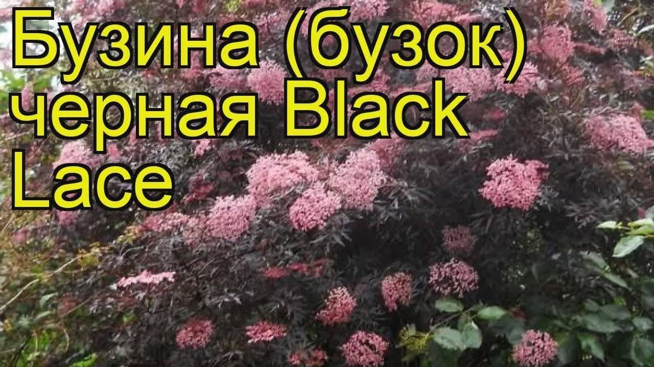 Описание бузины чёрной лациниата, её посадка и уход