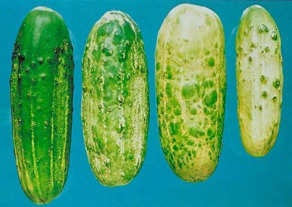Болезни огурцов в теплице (фото) и их лечение