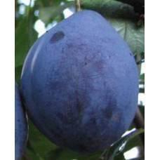 Агротехника выращивания сливы «стенлей» («стенли»): характеристика сорта, посадка и уход