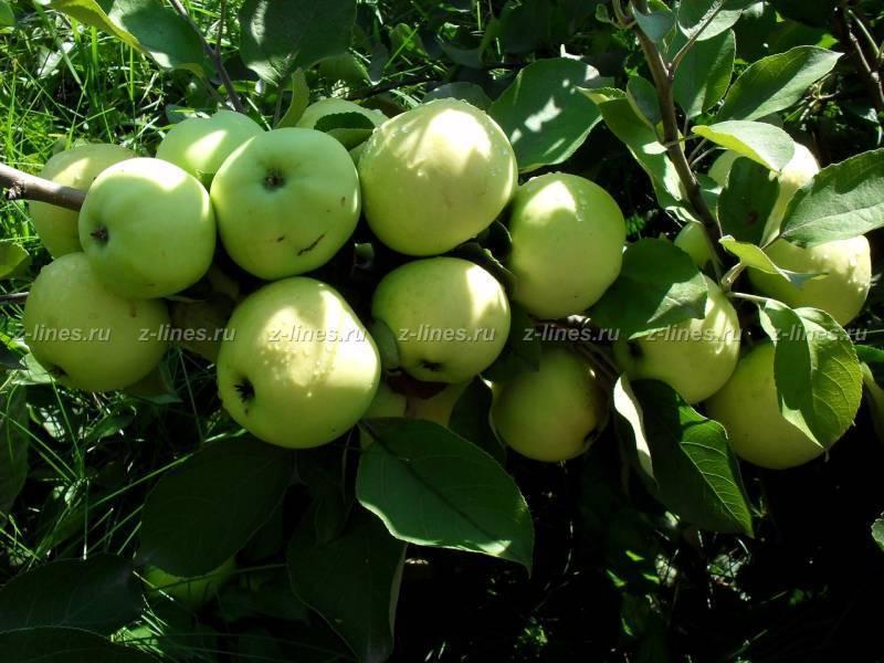 Яблоки белый налив – описание, посадка и выращивание раннего сорта