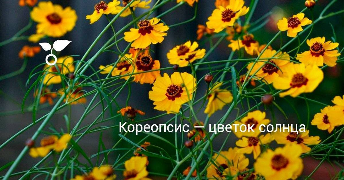 Кореопсис мутовчатый (19 фото): обзор сортов «загреб», «мунбим» и других, описание, посадка и уход