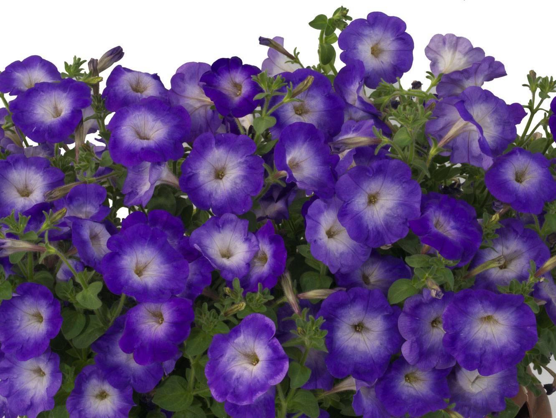 Фото разных оттенков и видов петунии джоконда: отзывы о цветке