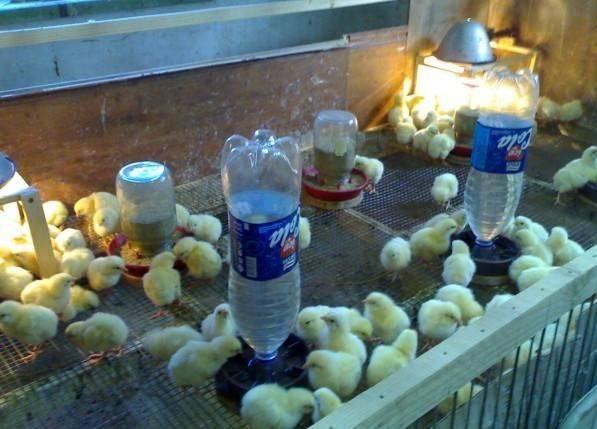 Правила кормления цыплят несушек в домашних условиях