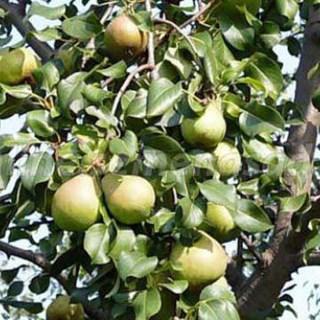 Груша белорусская поздняя: описание, выращивание