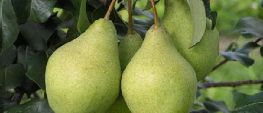 Особенности летних сортов груш