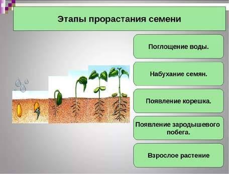 Как вырастить капусту белокочанную самостоятельно: после чего из овощей и как проводить посадку семян, в том числе безрассадным способом, сколько составляют сроки?