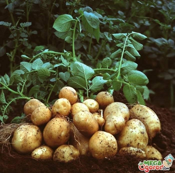 Для чего нужны гербициды для картофеля?