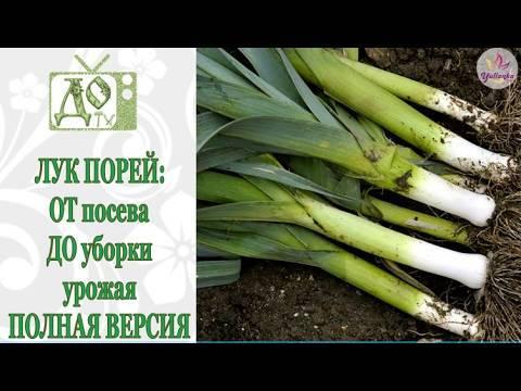 Когда и как сажать лук-порей на рассаду по лунному календарю 2020? выращивание и уход в открытом грунте