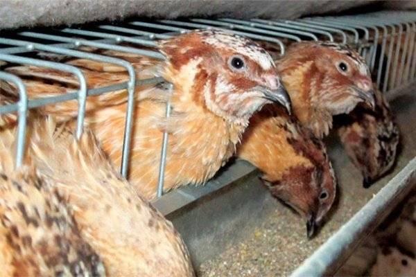 Чем кормить перепелов на домашней ферме - общая информация - 2020