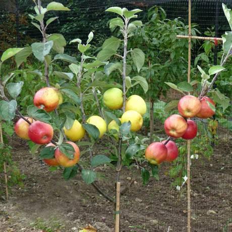 Яблоня сорта глостер: особенности посадки и ухода