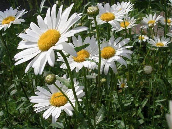 Высокие садовые цветы (42 фото): названия многолетних высокорослых растений для дачи, розовые и синие цветы. как их подвязать?