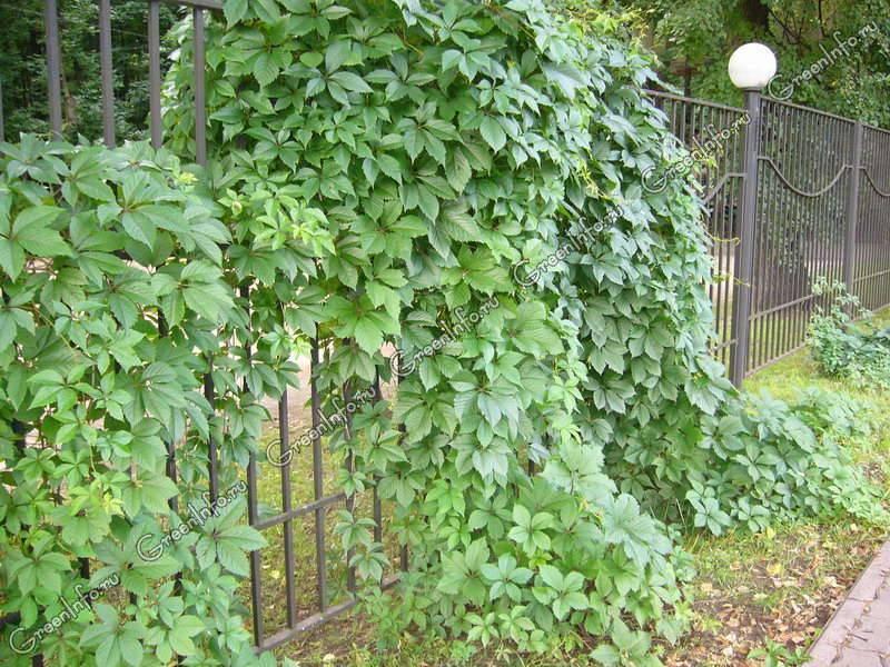 Как посадить и вырастить девичий виноград