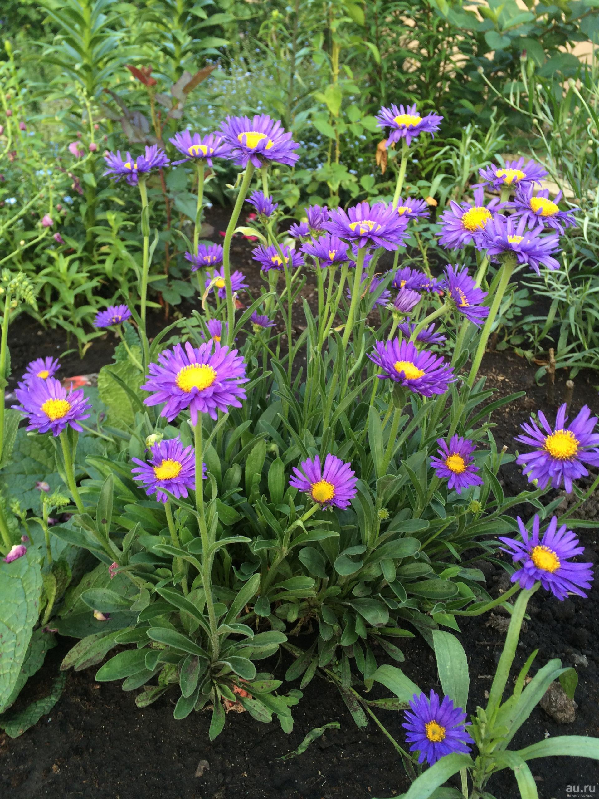 Бордюрные низкорослые цветы для клумбы: карликовые сорта, многолетники и однолетники, цветущие все лето