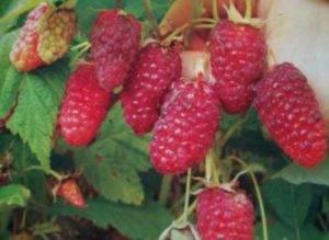Самые лучшие сорта ремонтантной малины: урожайные, крупные и вкусные
