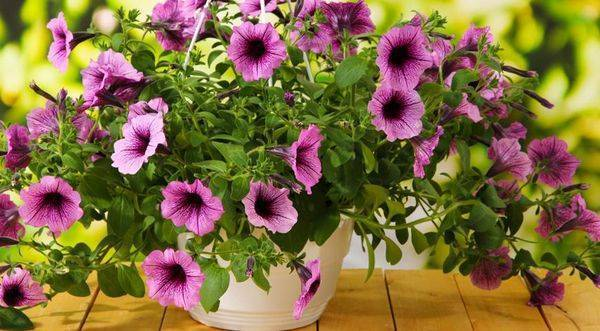 Петуния в кашпо: какие ампельные сорта лучше сажать в подвесные горшки и по сколько штук размещать, а также фото цветов, в том числе расположенных вокруг дома, уход