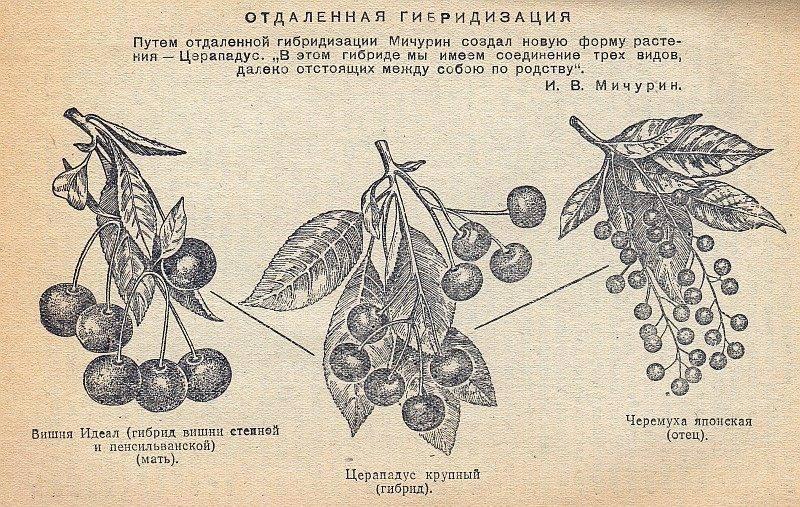 Черевишня, вишнеслива и церападус — удивительные гибриды вишни